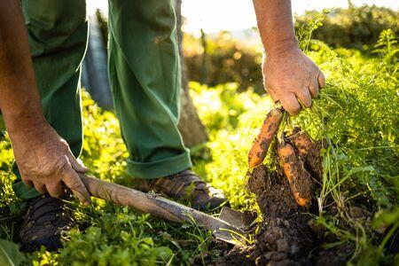 Senior gardener gardening in his permaculture garden - harvesting carrots Reklamní fotografie
