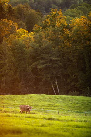 Cows going home from pasture at the close of the day - Regenerative farming concept/Grass fed beef