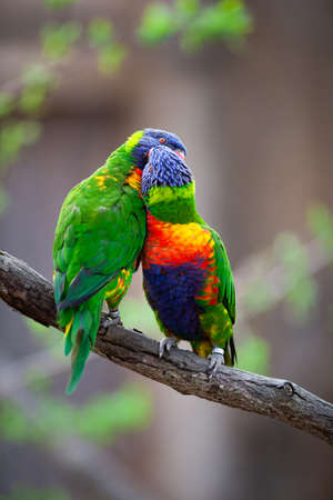 A pair of Rainbow Lorikeets fighting/playing/teasing each other on a tree branch (Trichoglossus haematodus)