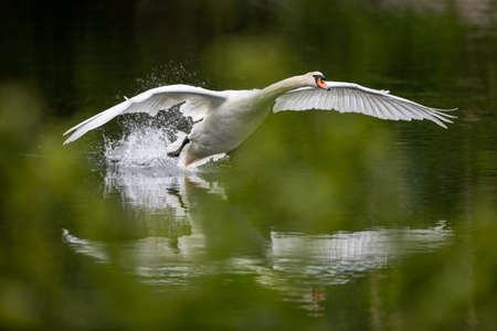 The Mute swan, Cygnus olor is a species of swan and a member of the waterfowl family Anatidae