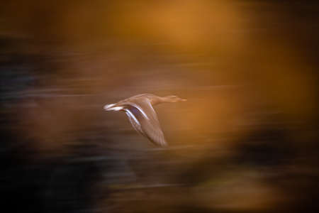Mallard duck Anas platyrhynchos flying fast in the air Banque d'images