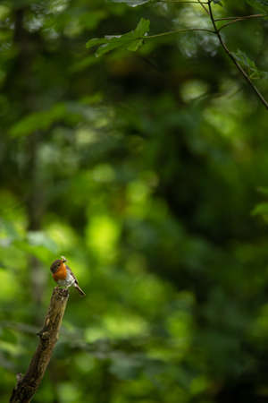 The European robin, Erithacus rubecula, known simply as the robin or robin redbreast