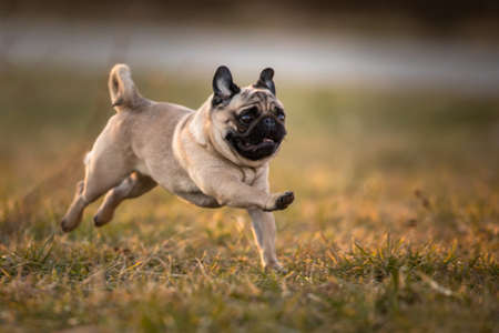 Beautiful puppy french bulldog being happy and active outdoors, in a park, running