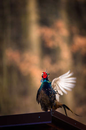 Common pheasant (Phasianus colchicus) in the grass. Male  pheasant during courtship with outstretched wings