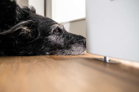 A sad looking dog is waiting for his master to stop working and take him for a walk. A large breed dog looks sad and lonely at home.