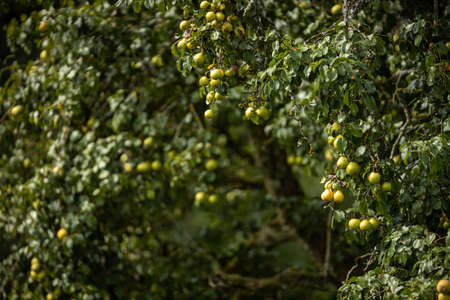 Ripe juicy pears on a tree in a lovely orchard