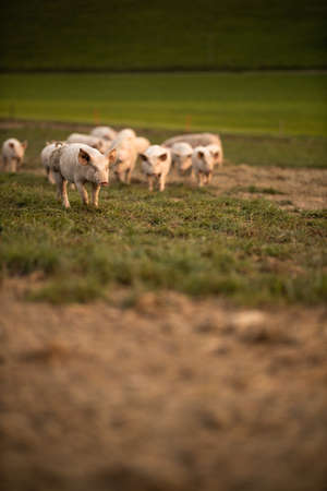 Pigs eating on a meadow in an organic meat farm - telephoto lens shot with good compression, tack sharp