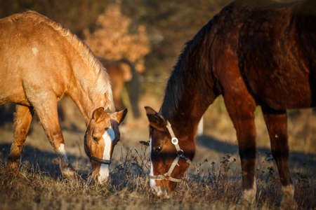 Horses grazing on pasture in warm evening light (color toned image; shallow DOF)