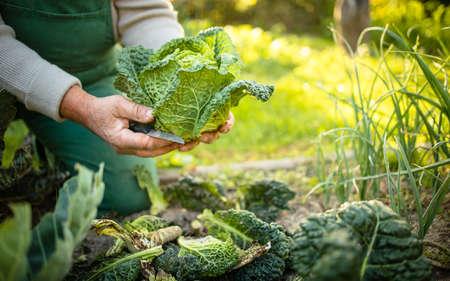 Senior gardener gardening in his permaculture garden - holding a splendid Savoy Cabbage head Archivio Fotografico
