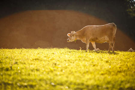 Cow in pasture. Mountain meadow. Green meadow in mountains and cow summer landscape. Archivio Fotografico