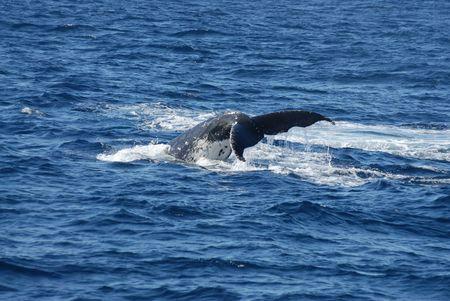 cetaceans: Whale diving