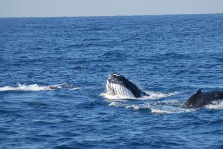 cetaceans: Whale feeding technique