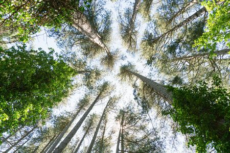 Forest of tall shrubs facing the sky. Centenary trees that grow over the years to become taller than skyscrapers