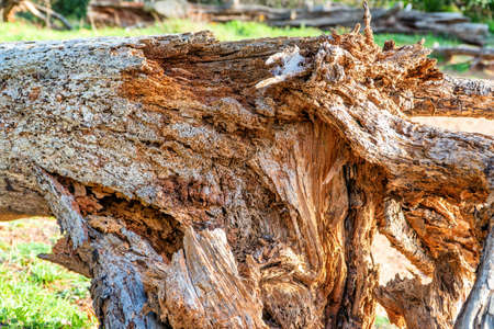 An old tree uprooted by the wind, which has become food for termites.
