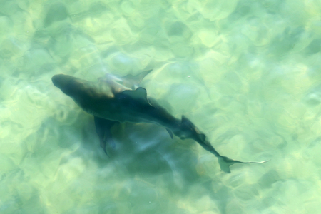 bull shark: bull shark in shallow gulf waters