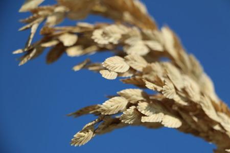 oat plant: sea oat agaisnt blue sky background