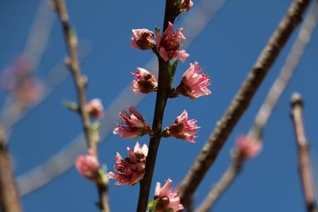 peach tree: peach tree blossoms in spring