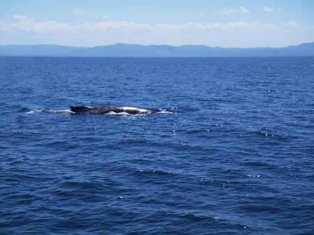 Back of Humpback whale mother. Whale swimming in the Pacific ocean water.