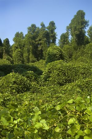unrestrained: Kudzu gone wild