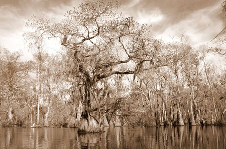 Sepia image of Cypress and tupelo swamp photo