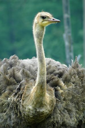 Portarit of a dignified Ostrich