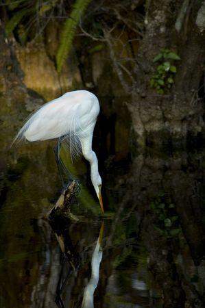 White Crane waiting for dinner - everglades park florida