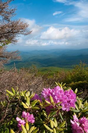 ericaceae: Bella vista da Blue Ridge Parkway mostrando il rododendro Catawba nativo in piena fioritura.