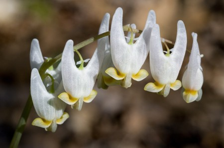 Macro image of the flower of Dutchman's Breeches - Dicentra cucullaria