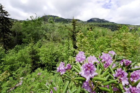 ridgeline: Beautiful view of the popular Blue Ridge Parkway destination Grandfather Mountain, with Catawba Rhododendron in full bloom.