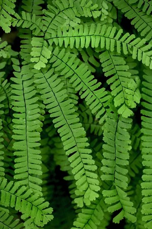 tropical native fern: The beautiful Maidenhair Fern, photographed in its native habitat, deep in Great Smoky Mountains National Park. (Adiantum pedatum)
