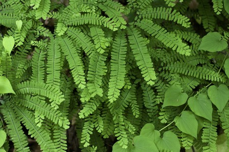 The beautiful Maidenhair Fern, photographed in its native habitat, deep in Great Smoky Mountains National Park. (Adiantum pedatum)