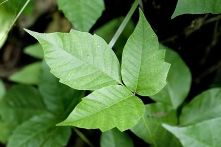 ivies: Dettaglio di un impianto Poison Ivy da vicino. Immagine eccellente ad alta risoluzione per pianta accurata identificazione.