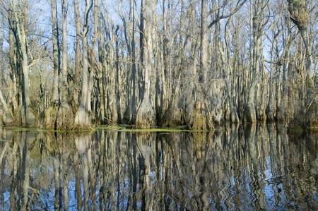 Reflections of cypress trees in swamp