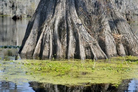 Roots of cypress tree in swamp photo