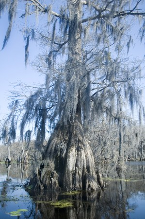 bayou swamp: Spanish moss hangs from old cypress tree in bayou   Stock Photo