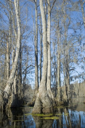 Cypress and tupelo trees in swamp photo