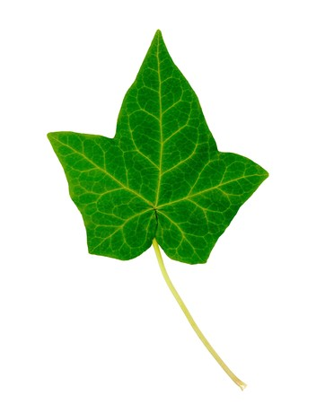ivy: English Ivy single leaf isolated on white