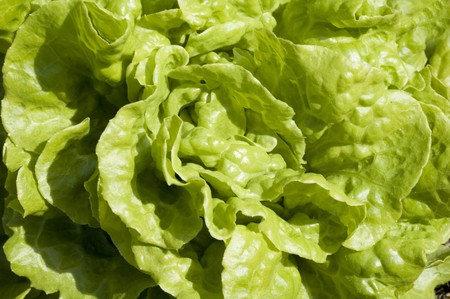 Close up of garden lettuce, green background texture photo