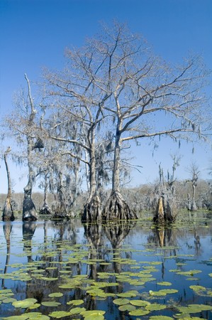 Lilypads en cipres bomen in het moeras