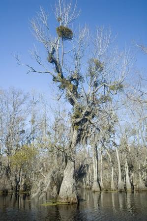 Spanish moss and mistletoe in cypress tree photo
