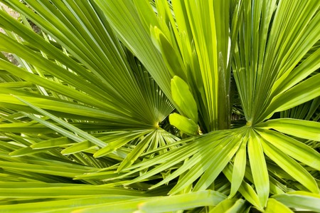 엽상체: Palm Frond abstract green background texture