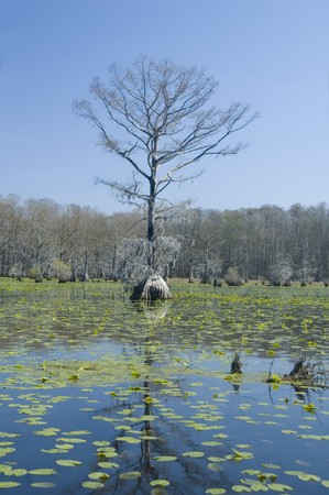 Cypress tree and Lily pads in Merchants Mill Pond photo
