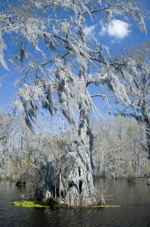 Spanish moss hangs from cypress tree in swamp   photo