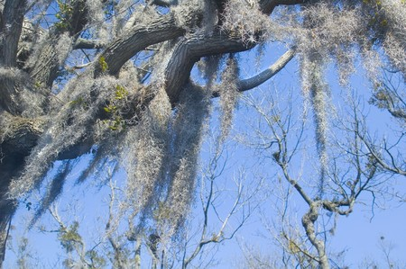 spanish moss hangs from old cypress tree Stok Fotoğraf