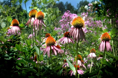 stimulate: Echinacea purpurea - Purple Coneflower - Used in herbal medicine to stimulate the immune system for preventing and shortening the duration of the common cold