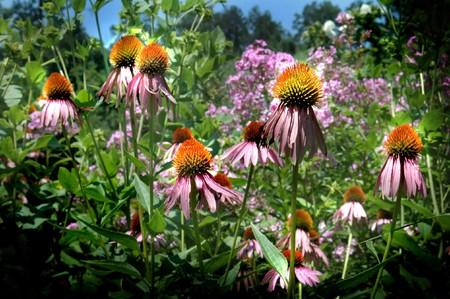 echinacea purpurea: Echinacea purpurea - Purple Coneflower - utilizzato in medicina di erbe per stimolare il sistema immunitario di prevenzione e di abbreviare la durata del freddo comune