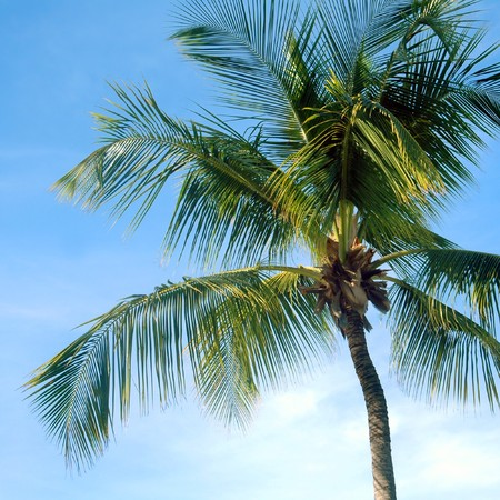 fronds: Palm Tree