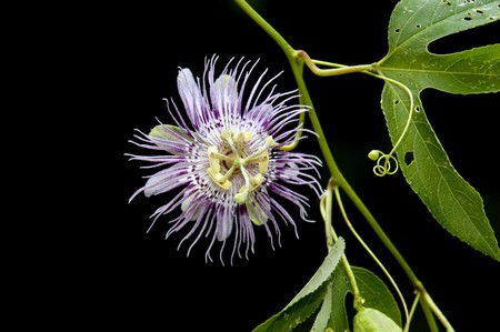 passionflower: Beautiful Purple Passionflower on Black background with green leaves