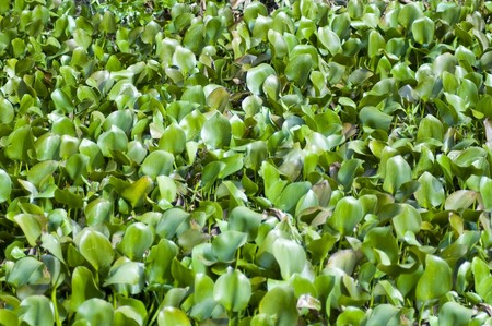 invasive: highly invasive water hyacinth in Everglades national park