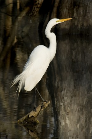 Great White Egret,  Everglades National Park Stock Photo - 7400599